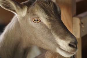 raising goats folkways farm