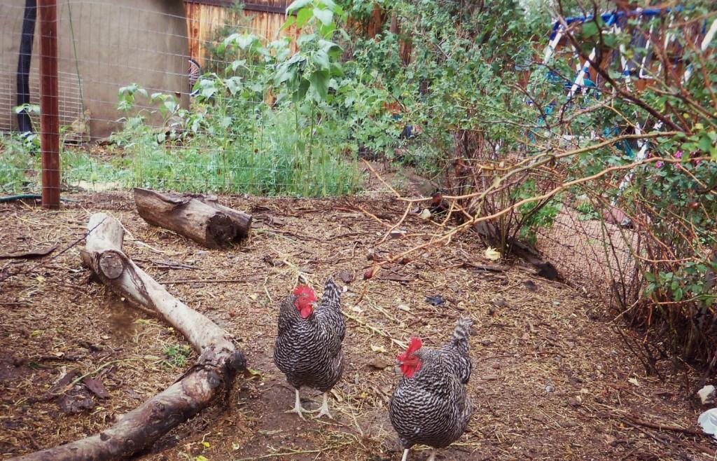 chickens folkways farm