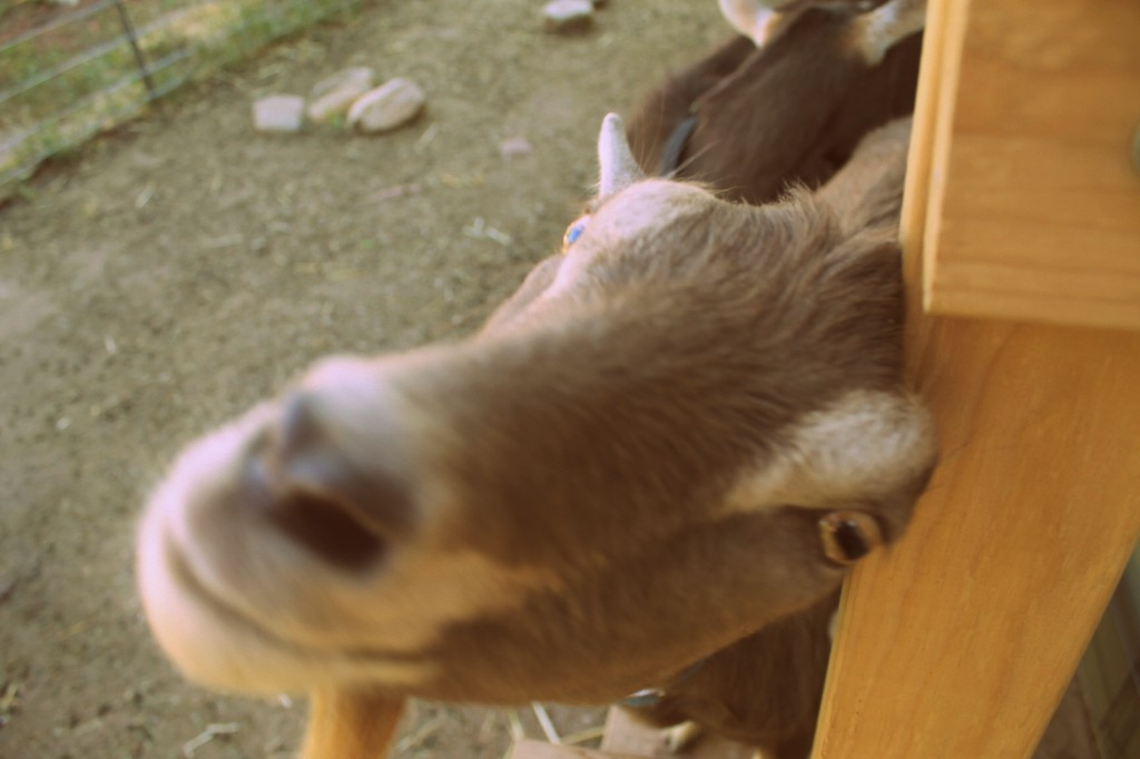 folkways farm goatkeeping