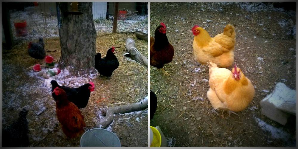 folkways chickens